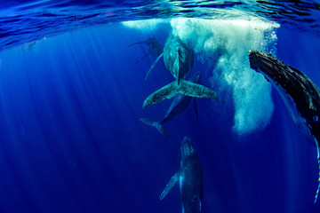 Humpback whale underwater in Moorea French Polynesia