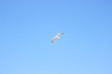 Mouette en train de voler, normandie