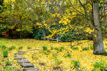 Yellow ginkgo foliage leaves and park path near the tree. Autumn background.
