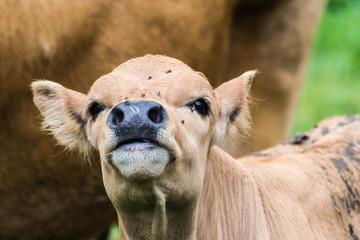 Hermosa vaquilla, mirada de ternero