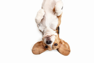 Front view of cute beagle dog sitting, isolated on a white studio background