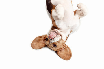 Wall Mural - Front view of cute beagle dog sitting, isolated on a white studio background