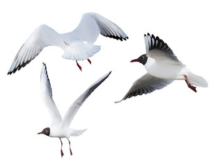 flying three black-headed small gulls