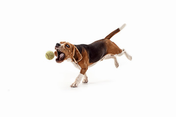 Wall Mural - Front view of cute beagle dog with ball isolated on a white studio background