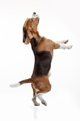 Front view of cute beagle dog isolated on a white studio background