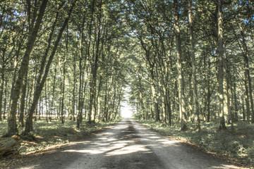 Road through a forrest