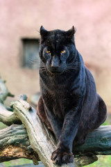 Printed kitchen splashbacks Panther Beautiful black panther (African leopard (Panthera pardus pardus)) in captivity
