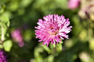 beautiful purple aster, macro, narrow focus area, soft focus
