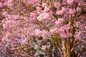 Tabebuia rosea is a Pink Flower neotropical tree