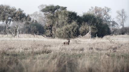 African wild dog in beautiful nature habitat. Wild animal in the nature. African wildlife. This is Africa. Wild dogs leader. Lycaon pictus.