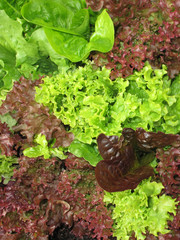 Green and red pick lettuce background for use in salad meals