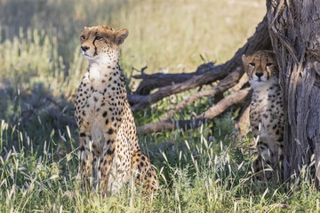 Cheetahs sitting on grass at Kgalagadi Transfrontier Park