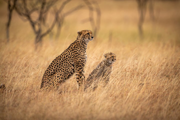 Cheetah and cub sit in long grass