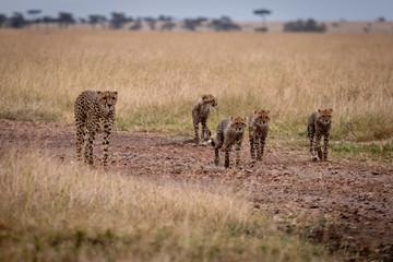 Cheetah and four cubs walk down track