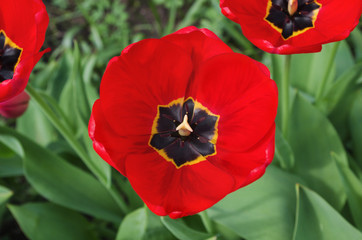 Top view of a beautiful red blooming tulip with green leaves, close-up of garden flower