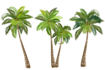 Coconut palm tree (Cocos nucifera). Set of realistic vector illustrations on white background.
