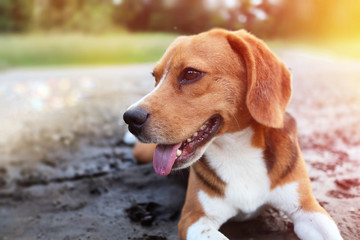 An adorable beagle dog lying down on the dirty puddle in the park .