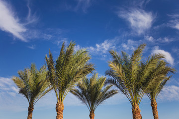 Green palms isolated on blue sky with white soft clouds background. Horizontal color photography.