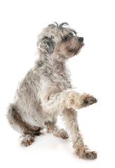 old tibetan terrier