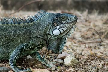 Iguanas en los Llanos Orientales Colombianos