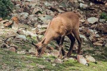 Deer grazing at hill