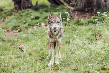 Wolf standing among trees