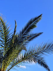 Green branches of Canary Island Date Palm against a bright blue sky, vertical frame, copy space