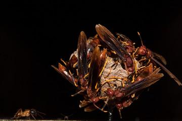 Insecto Avispa Roja