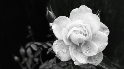 High Contrast Rose in the Rain