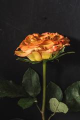 Rosa sobre fondo oscuro