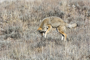 Wall Mural - Jumping Coyote