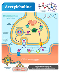 Acetylcholine vector illustration. Labeled scheme with neurotransmitter.