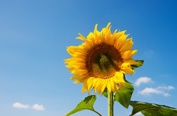 Wall Mural - Sunflowers blooming in farm with blue sky.