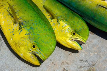 Freshly caught dolphin fish in a Florida Keys marina