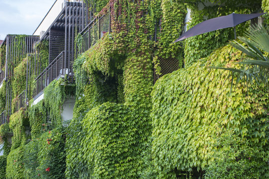 Building with climber plants, ivy growing on the wall. Ecology and green living in city
