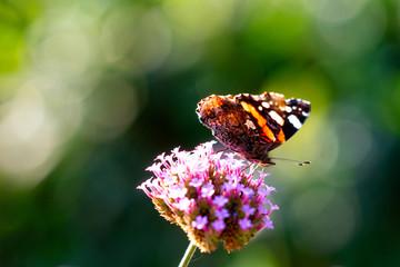Butterfly on verbena flower.