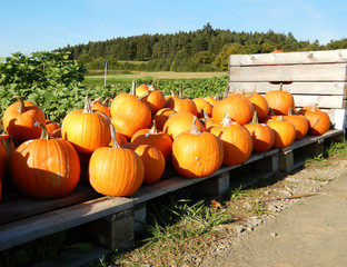 Harvested Pumpkins for Halloween and Thanksgiving