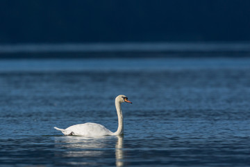 white mute swan (cygnus olor) swimming in blue water