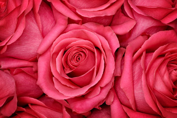 Close-up of red pastel rose. Floral background