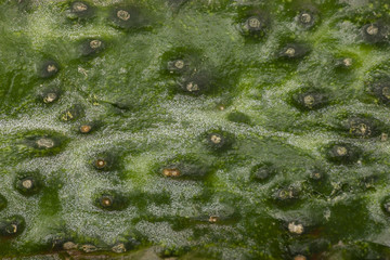 texture of the cucumber macro Can be used as a background