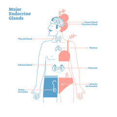Major Endocrine Glands, Vector Illustration Diagram. Human Body Hormones.