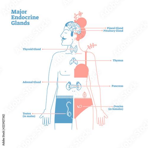 Major Endocrine Glands, Vector Illustration Diagram. Human Body ...