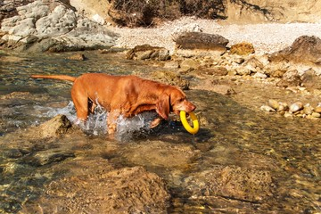 The Hungarian pointer Vizsla swims in the sea. The dog plays in the water. Dog training. Summer day with a dog by the sea.