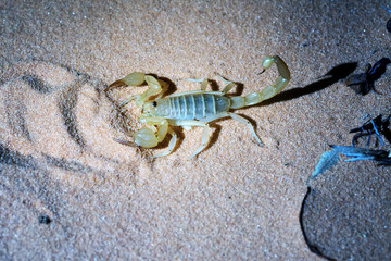 Night photographing of a scorpion with flash light.  Hadrurus arizonensis,  Giant Desert Hairy Scorpion.