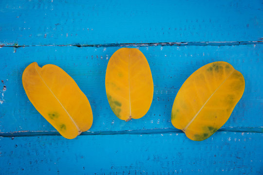 Three yellow jasmine leaves on a blue wooden background.