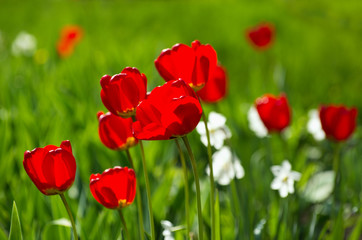 Wall Mural - Red tulips.