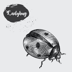 Detailed realistic sketch of ladybug isolated on white background. Hand drawn insect elements vector illustration.
