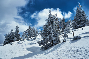 Snow-covered spruce trees during winter in the Giant Mountains in Poland..