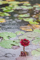 Beautiful bright Nature Floral Background with waterlily. Red lotus flower growing in pond