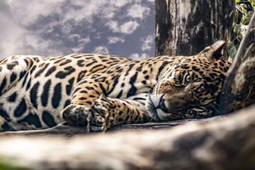 Fototapeta Jaguar obraz